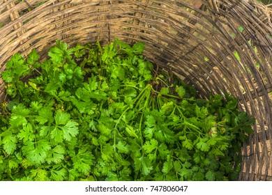 fresh organic coriander or cilantro bunches in basket