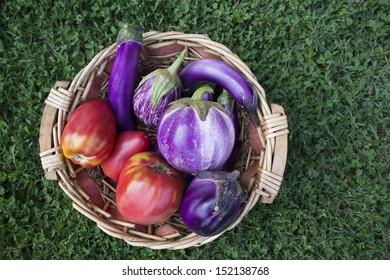 Fresh organic eggplants in wicker basket in the garden
