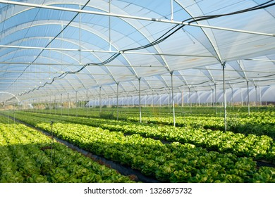 Fresh organic lettuce seedlings in a greenhouse