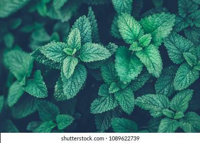Fresh organic melissa leaves. Lemon balm. Mint