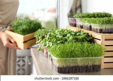 Fresh organic microgreens assortment and blurred woman on background