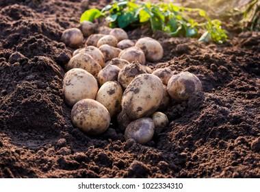 fresh organic potatoes in the field,harvesting potatoes from soil.
