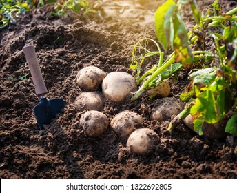 fresh organic potatoes with shovel in the field