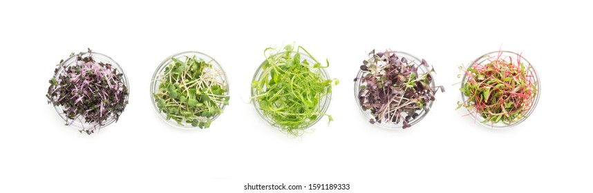 Fresh organic produce and restaurant serving concept. Set of colored micro greens isolated on white background, panorama