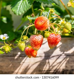 Fresh organic red strawberries ready to eat in the garden,Strawberry fruits in the plantation.The fruit is widely appreciated for its characteristic aroma, bright red color,juicy texture,and sweetness