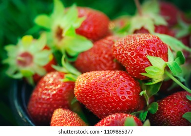 Fresh organic strawberries in bowl just after harvesting. Close-up view of ripe red berries, selective focus. Colorful summer fruit background