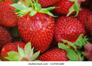 Fresh organic strawberries just after harvesting. Close-up view of ripe red berries. Colorful summer fruit background