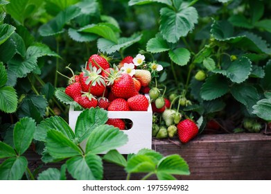 Fresh organic strawberries in a white wood basket by plants growing in a raised strawberry bed, with blossoms, green and red berries. Selective focus with blurred foreground and background.