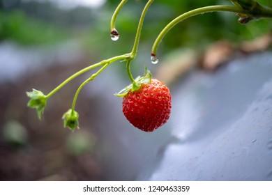 Fresh organic strawberry fruit in the plantation, strawberry garden ijen kalisat bondowoso - indonesia