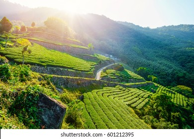 fresh organic tea bud & leaves plantation, the famous Oolong tea area in Alishan mountain with blue sky and sun, Taiwan