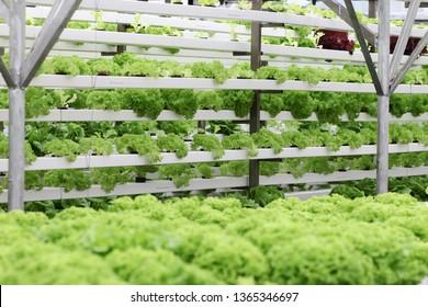 Fresh organic vegetable grown using aquaponic or hydroponic farming