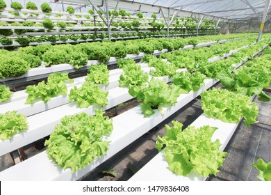 Fresh organic vegetable grown using aquaponic or hydroponic farming
