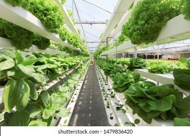 Frisches ökologisches Gemüse aus Aquapon oder Hydrophozucht