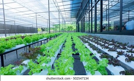 Fresh organic vegetable in hydroponic vegetable field.Plants without soil.