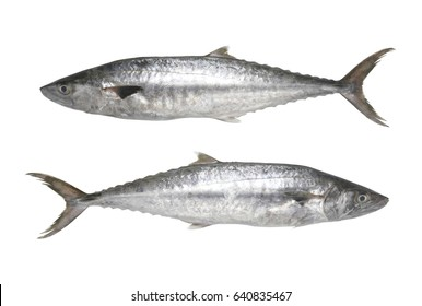 Fresh Pacific king mackerels or Scomberomorus fish isolated on white background and have clipping paths to easy deployment.