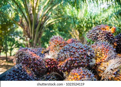 Fresh palm oil from palm garden, plant