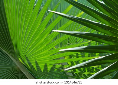 Fresh palm tree leaves