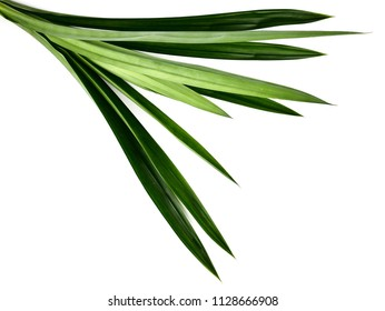 Fresh Pandan leaves or screw pine leaves isolated on white background.concept food and beverage of healthy natural From green herbs