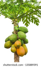 fresh papaya tree with bunch of fruits on white background
