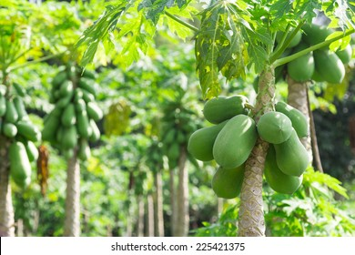 fresh papaya tree with bunch of fruits