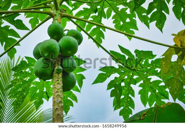 Fresh Pappayas on a pappaya tree. From Kerala, India.