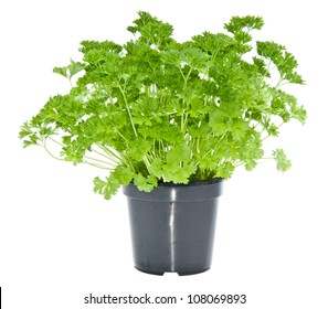 Fresh parsley in black pot isolated on white background