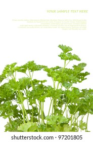 Fresh parsley isolated on white. Copy space for your text
