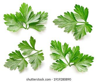 Fresh parsley leaf. Parsley collection isolated. Parsley leaf isolated on white. Full depth of field