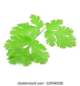 Fresh parsley leaf isolated on a white background