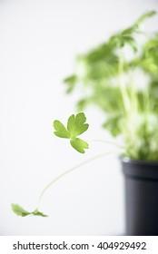 Fresh parsley in a little pot
