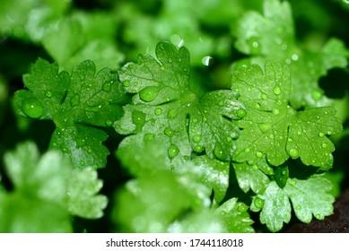 perejil fresco plantar hojas verdes con gotas de agua