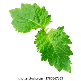 fresh Patchouli (Pogostemon cablin) leaves isolated on the white background