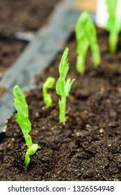 Fresh pea sprouts breaking through the soil.