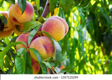fresh peaches from the garden