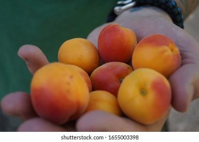 Fresh Peaches From the Garden of Kershaw-Ryan
