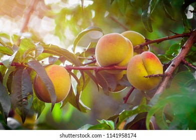 Fresh peaches growing on a tree
