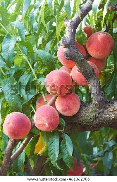 fresh peaches on tree