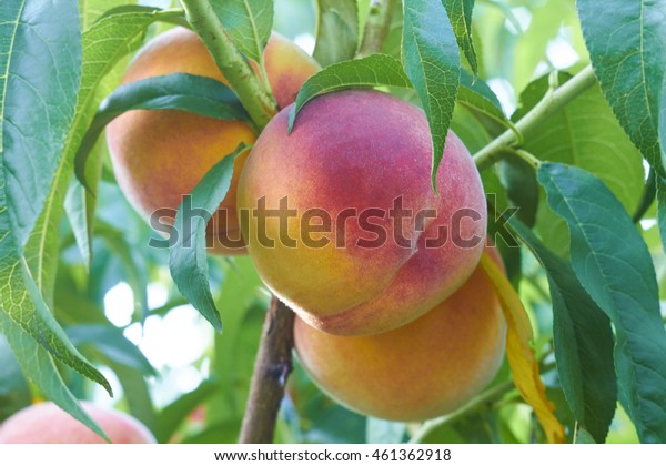 fresh peaches on tree