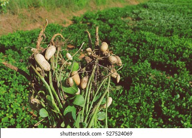 fresh peanuts plants with roots