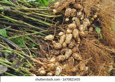 fresh peanuts plants with roots, Peanuts  (Arachis hypogaea L.)