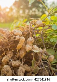 fresh peanuts plants with roots, Peanut, raw food