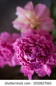 Fresh peonies close up, soft focus on grey background
