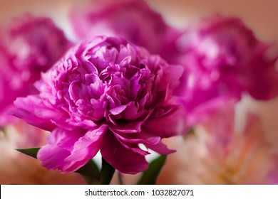 Fresh peonies close up, soft focus on beige background