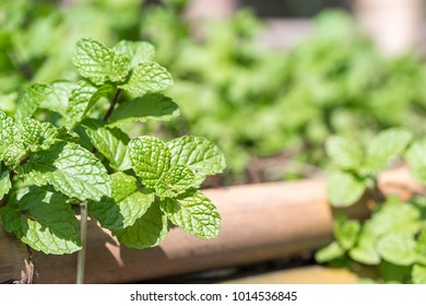 Fresh peppermint plant grown in vegetable garden,the aromatic leaves of a plant of the mint family, or an essential oil obtained from them, used as a flavoring in food