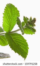 Fresh peppermint plant on white background.