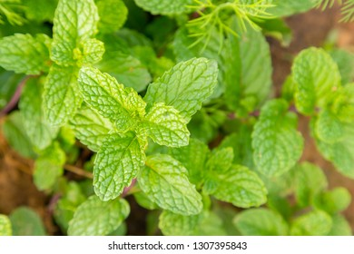 Fresh peppermint trees in organig garden use for herb in Thai food product nature background