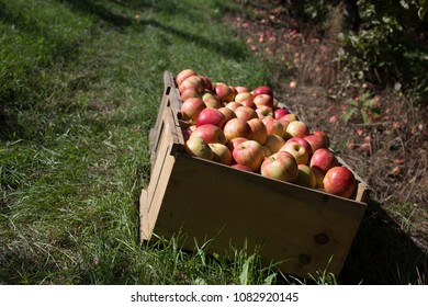 Fresh picked apples at a New England apple orchard.
