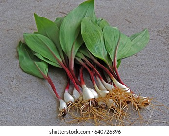 Fresh picked cleaned wild ramps