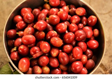 Fresh Picked Red Coffee Beans