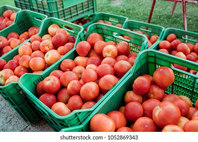 Fresh picked tomatoes from organic and domestic breeding ready for sale. Nutrition and health.